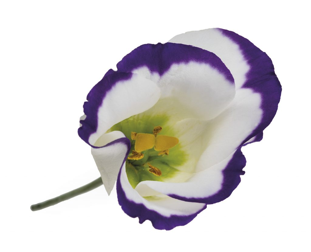 Lisianthus-Eustoma-Flower-White-Arrangement-Bouquet-Decoration-Pink-White-Blue-Green-Red-Lavender-Colour-Salmon-Orange-Season-Variety