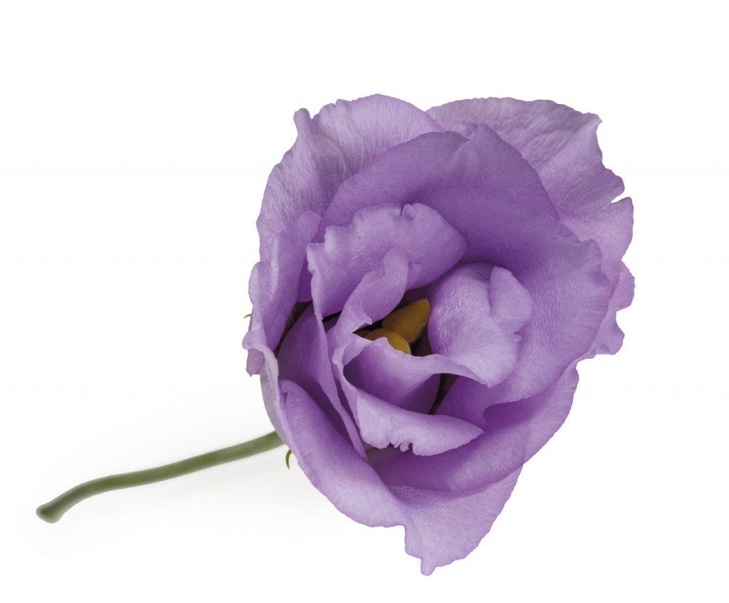 Lisianthus-Eustoma-Flower-White-Arrangement-Bouquet-Decoration-Pink-White-Blue-Green-Red-Lavender-Colour-Salmon-Orange-Yellow-Brown-Collection-Variety